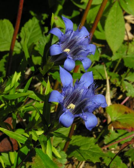 Gentiana septemfida x paradoxa, photo by Todd Boland