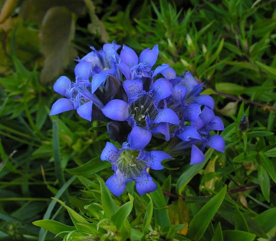 Gentiana septemfida, photo by Todd Boland