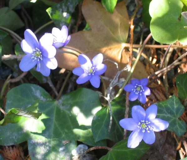 Hepatica nobilis, photo by Trond Hoy