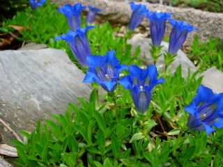 Gentiana acaulis growing in a trough, photo by Mike Slater