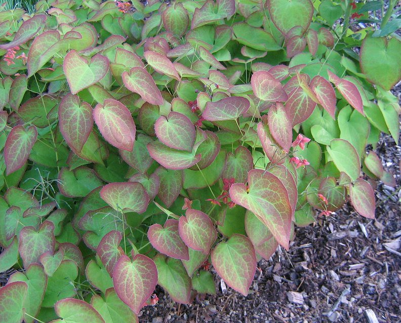 American Plants That Start With The Letter R