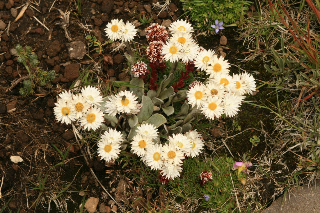 Flowers of the Maloti Mountains, Lesotho | Forum topic | North ...