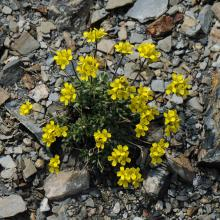 Draba incerta