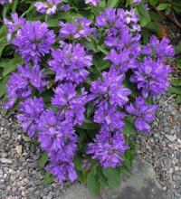 Campanula glomerata 'Nana'; photo by Todd Boland