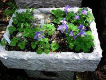 A Fish box trough made by Richard Rosenberg planted by Ann Rosenberg with Aquilegia flabellata 'Nana'.