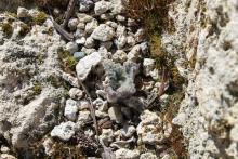 Phlomoides speciosa emerging in spring; Calgary, AB.