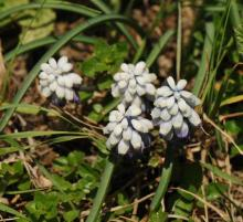 Muscari pallens, growing wild in the Greater Caucasus