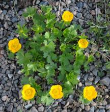 Ranunculus montanus; photo by Todd Boland