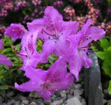 Rhododendron keleticum; photo by Todd Boland