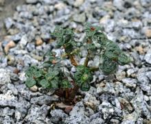 Salix X boydii